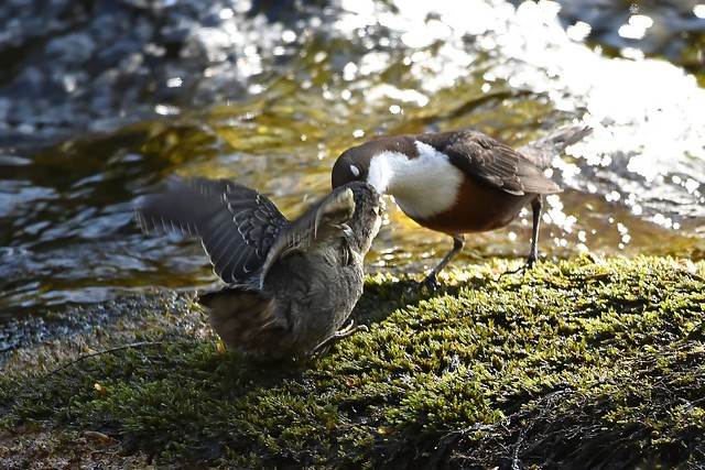 Fledgling dipper being fed