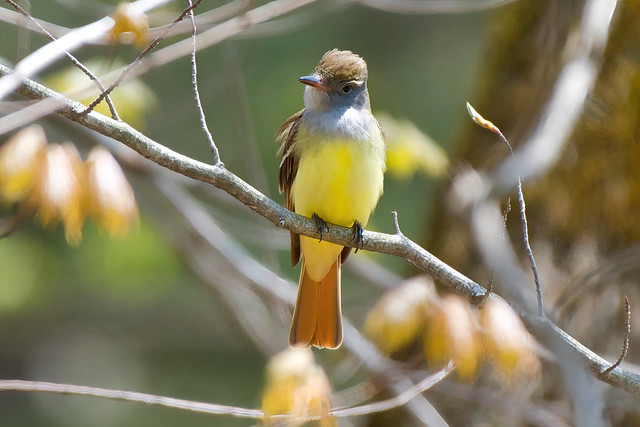 Great Crested Flycatcher_5001531
