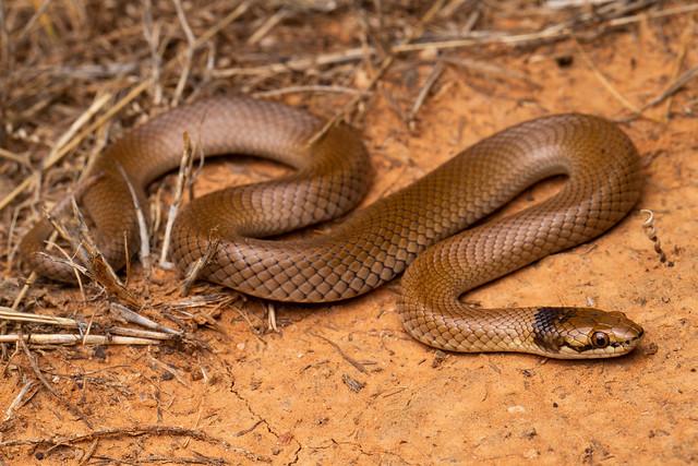 Curl Snake - Suta suta