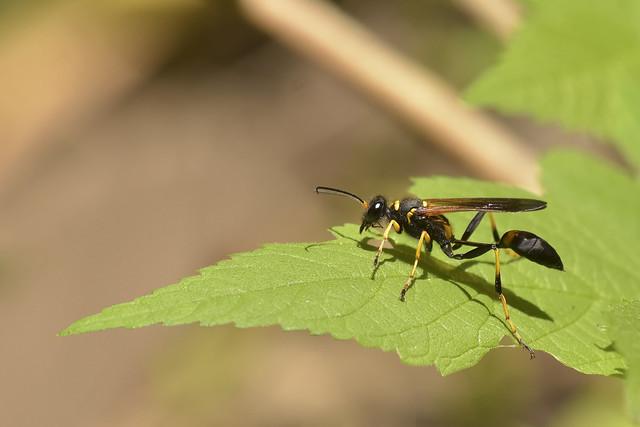 Yellow-legged Mud-dauber Wasp