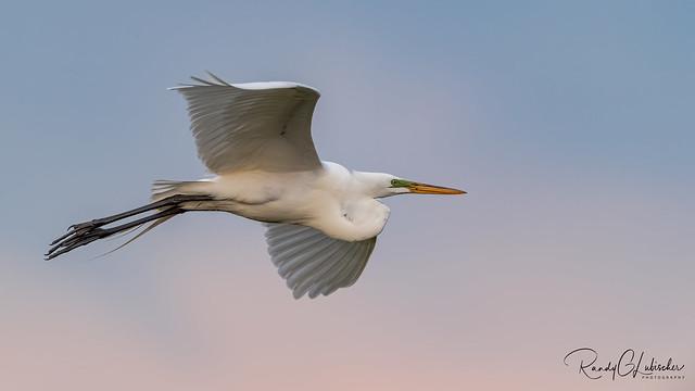 Great Egret | Ardea alba | 2021 - 5