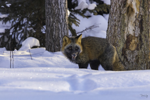 Cross Fox Eating