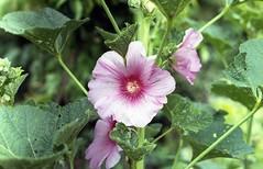 Fiore di malva nel mio orto