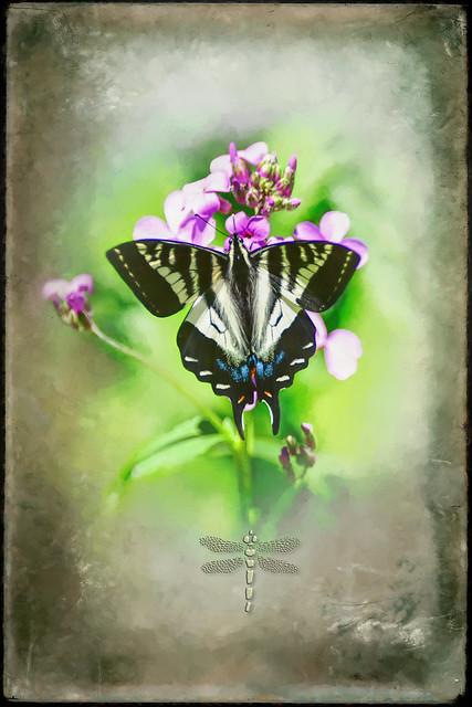 Pale Swallowtail (Papilio eurymedon) . . .