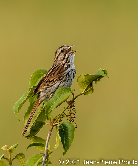 Bruant Chanteur-Song Sparrow