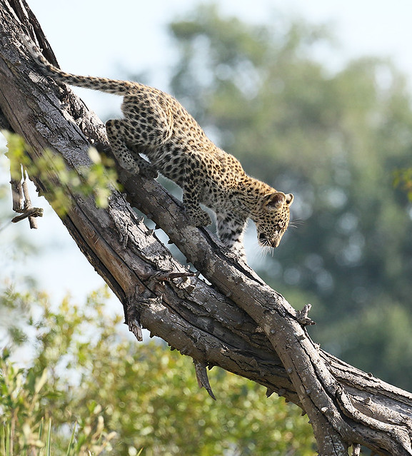 Coming down a tree for the first time is no easy task .... One of Bame's cubs - Abu - Botswana