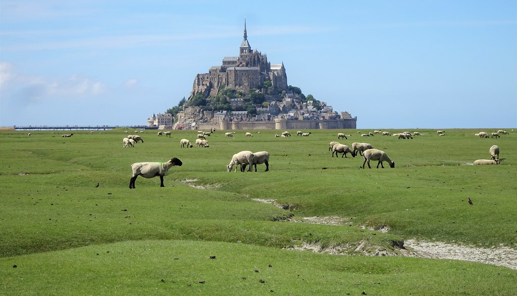 Thousands of sheep graze on the pastures around Mont Saint-Michel
