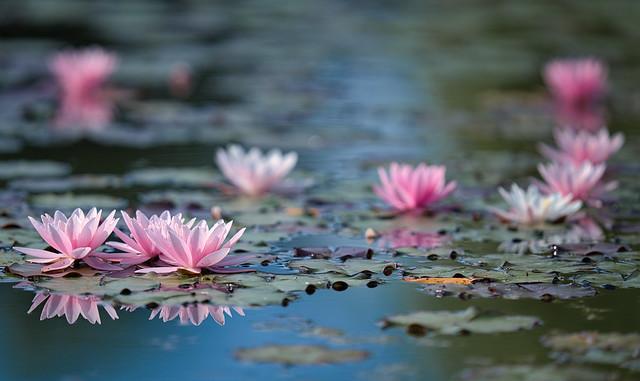 Seerosen Blüten
