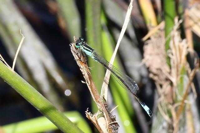 Common Blue-talied Damselfly (Ischnura elegans) or Scarce Blue-tailed Damselfly (Ischnura pumilio) ♂