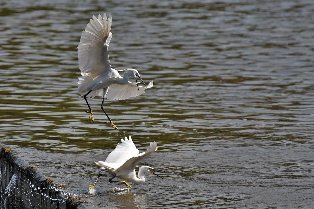 Aigrettes garzettes - Egretta garzetta - Little egrets
