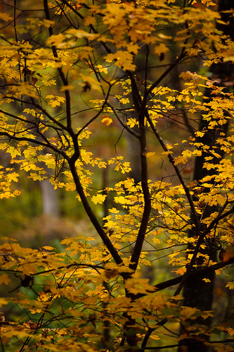 Sun, 10/23/2011 - 11:09 - Sugar Maple (Acer saccharum [Aceraceae]), Tyson Forest Ecology & Dynamics Plot.  PC: Jonathan Myers