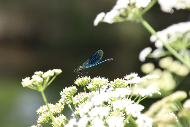 Banded demoiselle by the river that runs through the grounds at Mottisfont