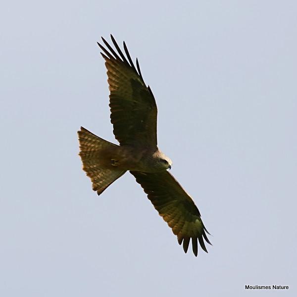0S8A5938. Black Kite (Milvus migrans)