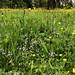 2021 06 10 - wildflower meadow