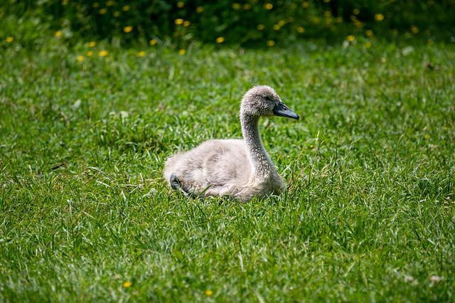 Family Swan - 0587