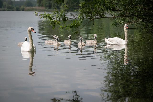 Family Swan - 0543