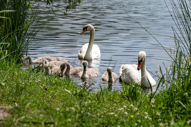 Family Swan - 0547
