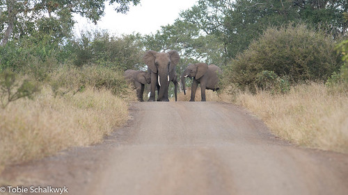 CTS_8210 Elephants