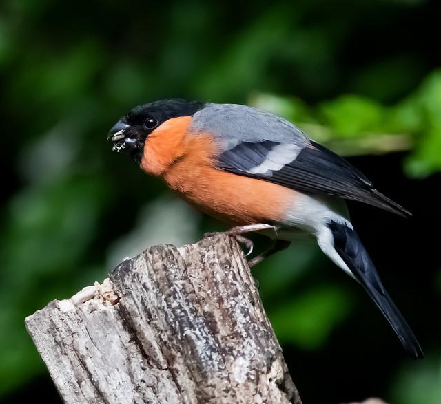 Bullfinch chomping on a post