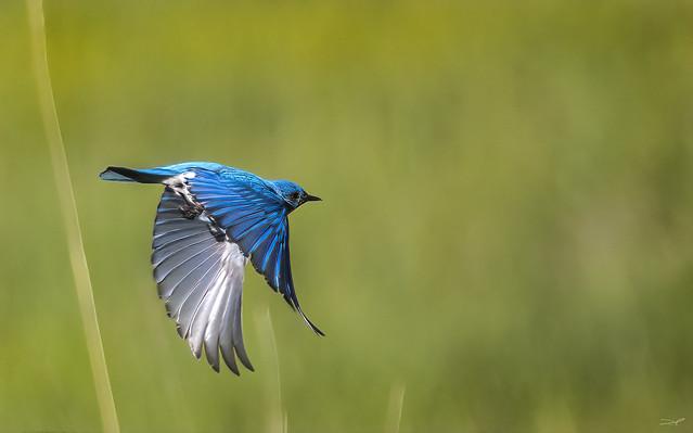 Bluebird n Flight