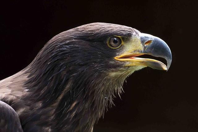 Juvenile Bald-headed Eagle