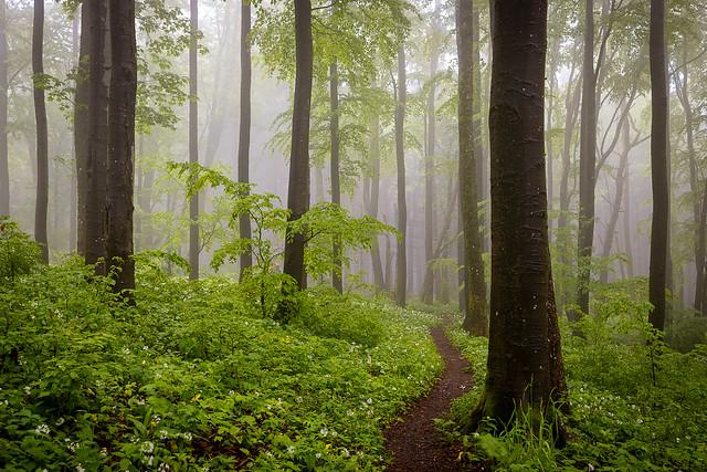 Auf verschlungenen Wegen durch den Buchenwald / On winding paths through the beech forest