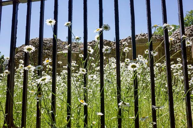 Daisies behind bars