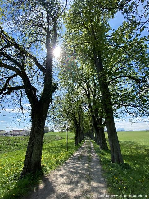 historische Kastanien-Allee / Bad Wimsbach-Neydharting / Oberösterreich