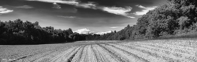 Rolling Field of Young Corn.