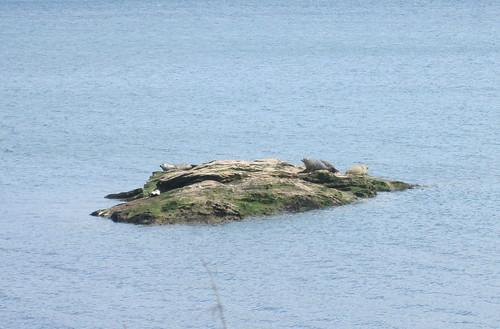 seals, Firth of Forth, Kirkcaldy, Seafield