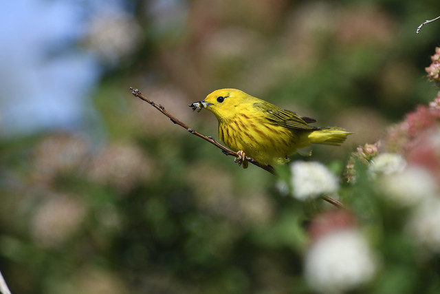 Yellow Warbler (Northern), male