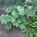 Podophyllum pleianthum 01