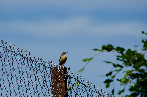 Young wagtail on a fence post