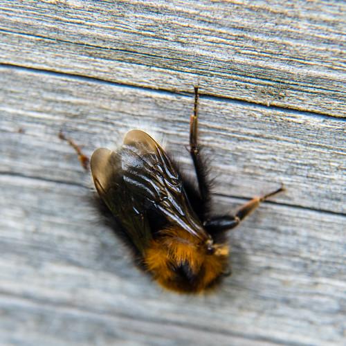 Tree bumble bee on footbridge