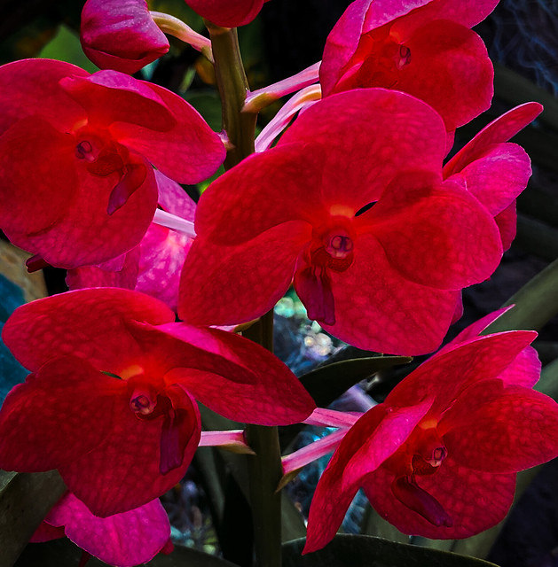 Aphrodite's Phalaenopsis | Moon Orchid