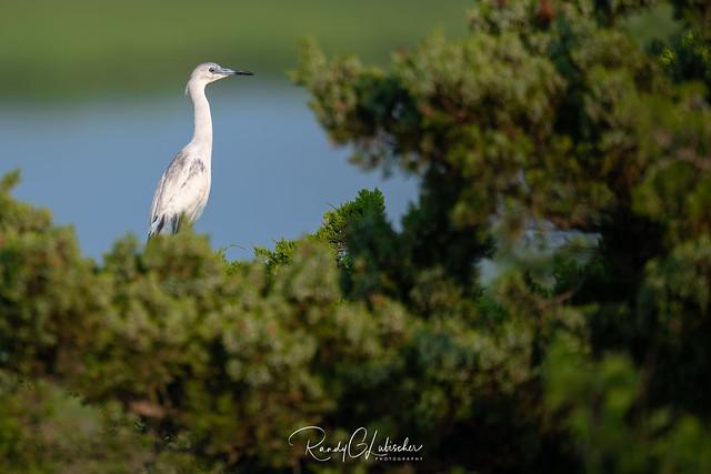 Little Blue Heron | Egretta caerule | 2021 - 5