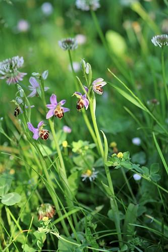 Ophrys apifera - ophrys abeille - Page 4 51251013849_e731abe8ef