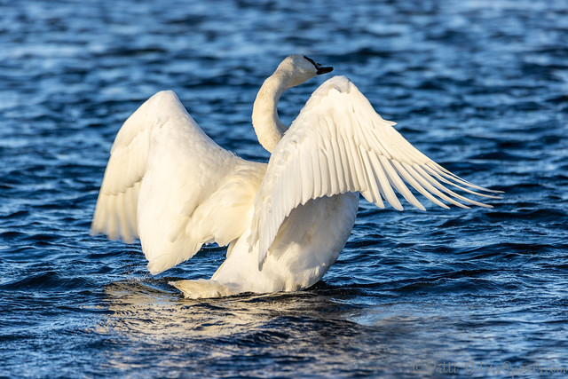 Swan Wing Stretch Display