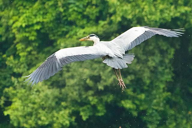 Vliegende reiger