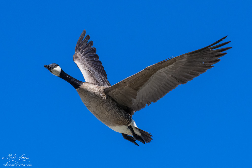 mj_061521_chester_creek_Geese_005