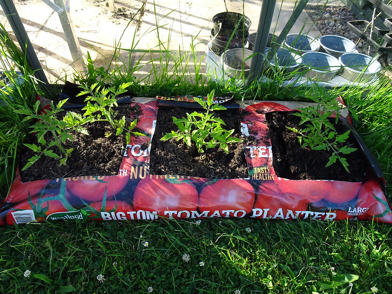 Tomato seedlings planted out - Batch 2