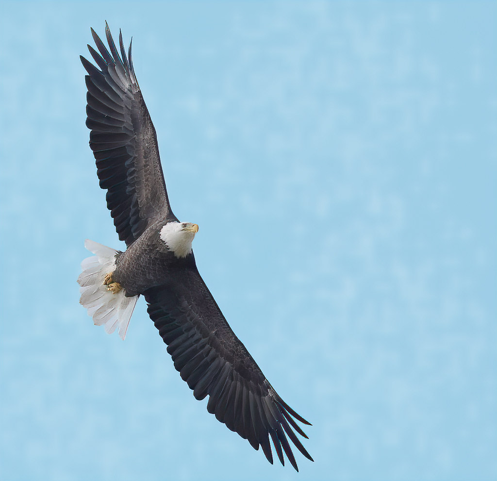 Just Another Bald Eagle