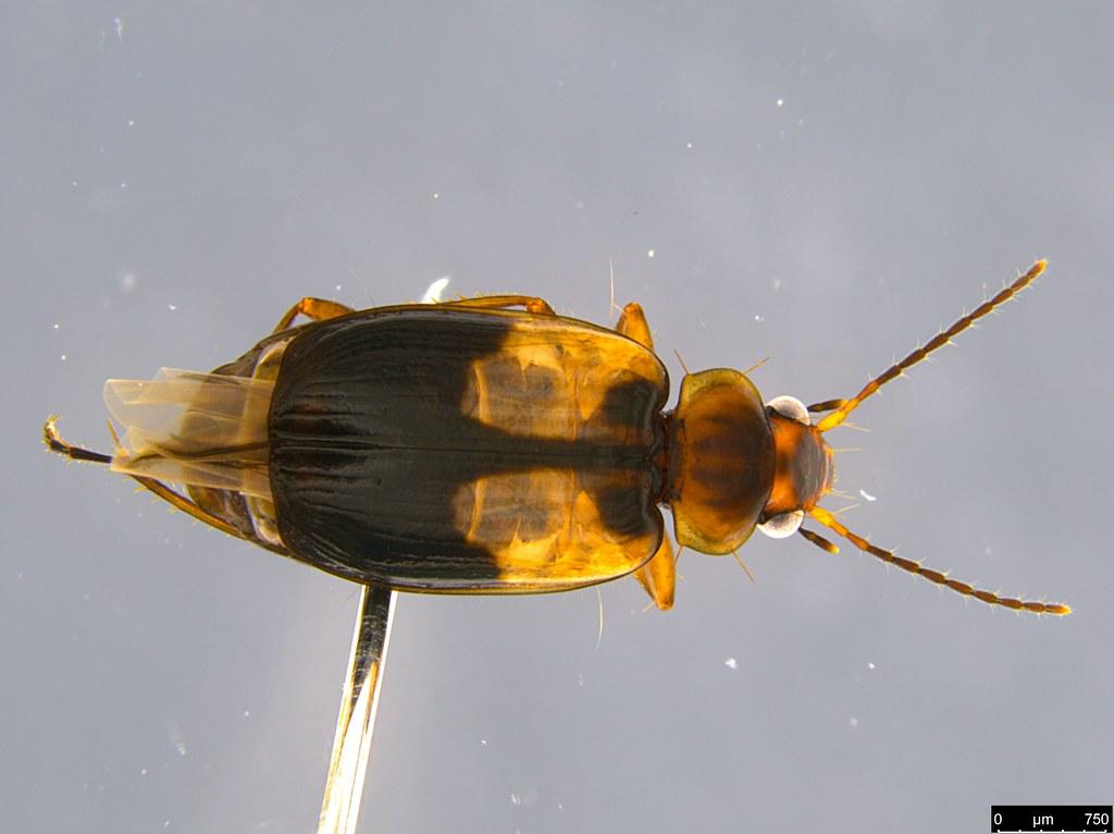 3a - Lebiini sp.