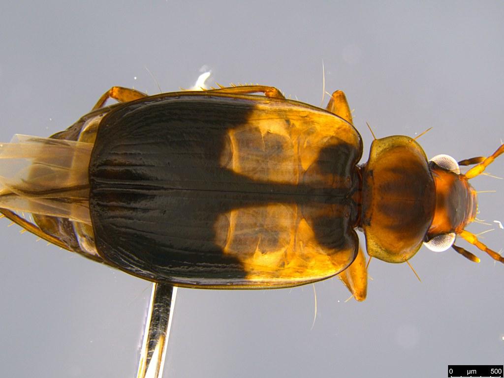 3b - Lebiini sp.