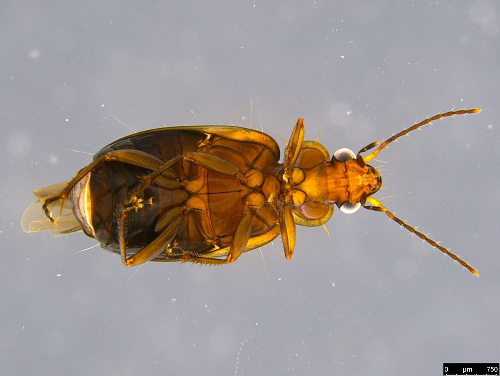 3e - Lebiini sp.