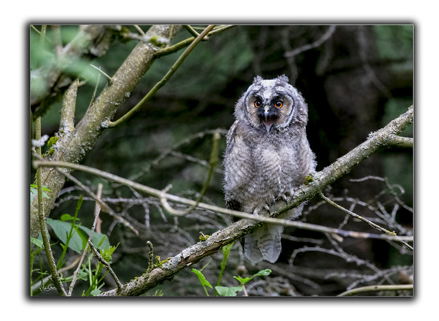 Long eared owl..Juvenile.