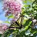 Canadian Tiger Swallowtail (Papilio canadensis) and Butterfly-bush (Buddleja davidii) (Buddleja davidii)