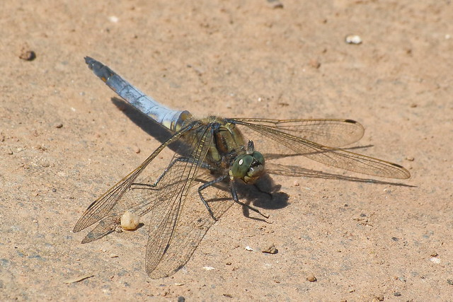 Black-tailed Skimmer (Orthetrum cancellatum) ♂