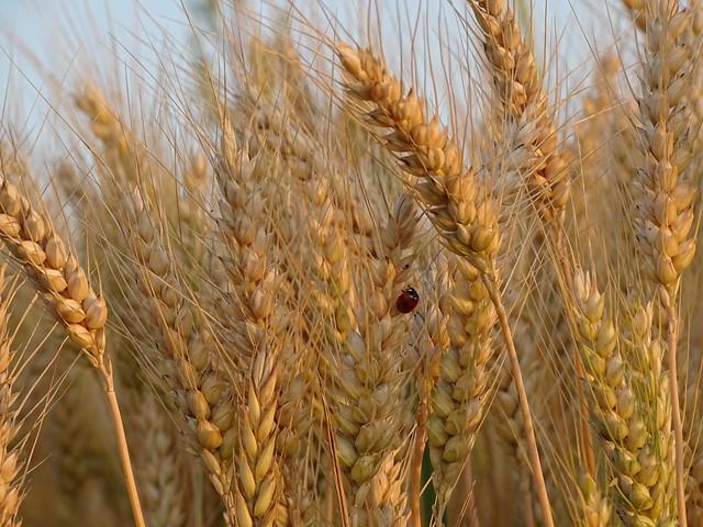 une petite bête qui monte dans le blé doré