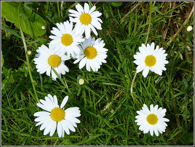 Small Cluster of Daisys ..